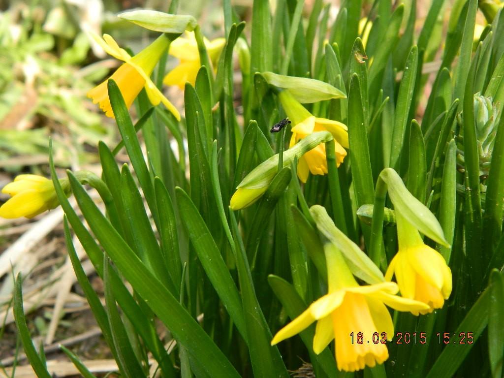 Mininarzissen aus dem Blumenbeet der Grünen Gruppe