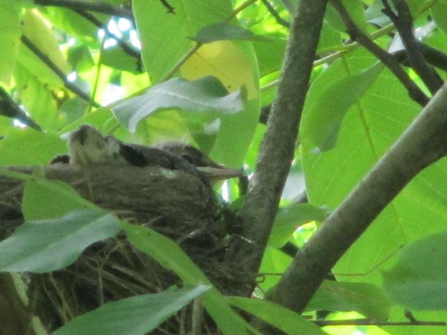 Die kleinen Drosselküken sind schon so groß, dass das Nest zu klein wird. Die Flügel schlagen schon .......