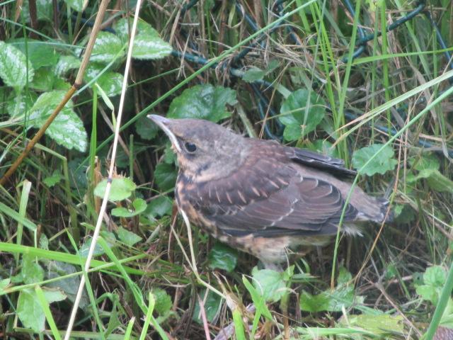3 Tage später war es soweit. Die Küken verlassen das Nest. Ein Drosselküken schaffte es nur bis zum Zaun. Mit Handschuhen wurde ihm über den Zaun geholfen. Mama Drossel war in der Nähe und passte auf ihr Kind auf.